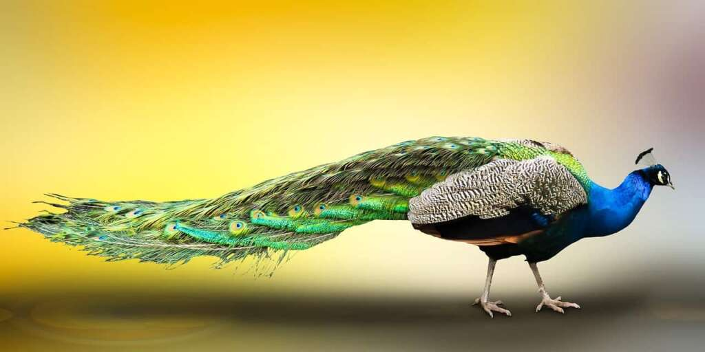 peacock: Male Peafowl (about peacock in hindi)