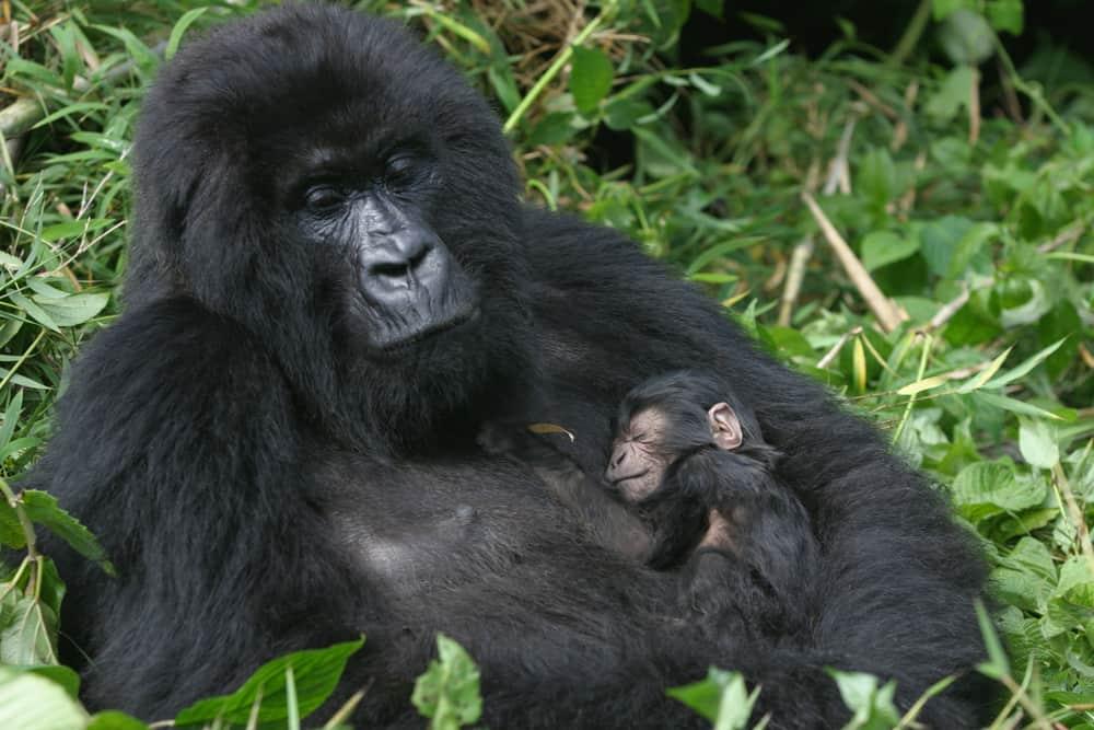 african gorilla facts